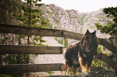Yawning dog. A dog standing in the mountains fenced in having a boring time in the rain Royalty Free Stock Images