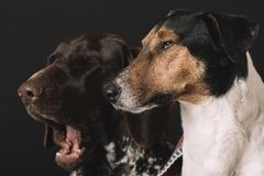 Yawning dog. Two cute sleepy dog at home. Sleepy dogs at home. Two cute dog portrait. Friendship concept. Terrier and German pointer dog resting at home Stock Photo