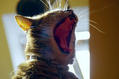 Yawning cat. Yawning domestic cat with wide open big mouth Stock Photography