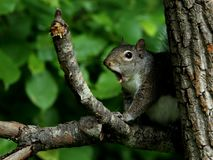 Yawning eastern gray squirrel. Adorable eastern gray squirrel yawns widely on a tree limb royalty free stock photos