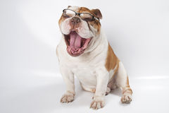 Yawning English Bulldog wearing glasses for vision. Stock Photos