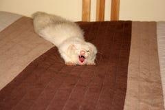 Yawning ferret Stock Photo