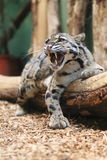 Yawning fishing cat Stock Photos