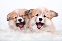 Yawning fluffy puppies Welsh Corgi. Pembroke on white  background Stock Images