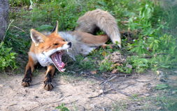 Yawning fox. Sleepy fox yawns and lies in the green forest Royalty Free Stock Photography
