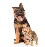 Yawning german shepherd puppy and bengal cat together. isolated Royalty Free Stock Image