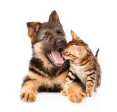 Yawning german shepherd puppy dog and little bengal cat together.  stock photo