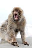 Yawning gibraltar ape Royalty Free Stock Photo