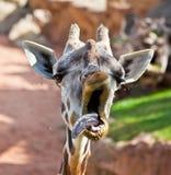 Yawning giraffe Stock Images