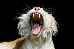 Yawning golden tabby tiger Royalty Free Stock Image