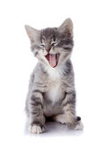 Yawning gray kitten. Royalty Free Stock Photography