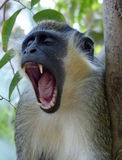 Yawning. Green vervet monkey in Gambia's Bijilo Forest Stock Photography