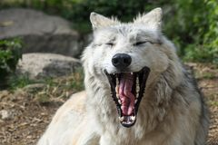 Yawning grey wolf