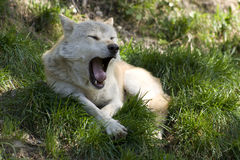 Yawning grey wolf Royalty Free Stock Images