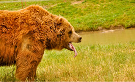 Yawning Grizzly Bear Stock Image