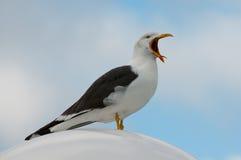 Yawning gull (larus fuscus) Royalty Free Stock Image