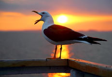 Yawning gull on the White sea. On the deck railing of the ship gull with black-and-white plumage poses with open beak on a background sunset and sun paths in the Royalty Free Stock Images