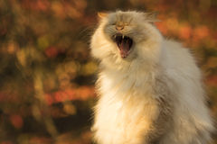 Yawning orange-eared Cat in Autumn Royalty Free Stock Image