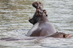 Yawning Hippo. In Chobe River with another behind Royalty Free Stock Photo