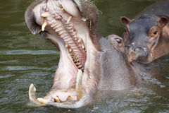 Yawning hippo Royalty Free Stock Photos