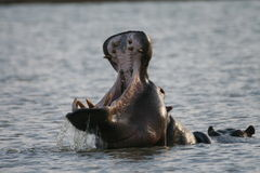 Yawning Hippo Royalty Free Stock Photo