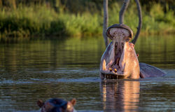 Yawning Hippopotamus Stock Photography