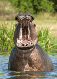 Yawning  hippopotamus in the water. Royalty Free Stock Images