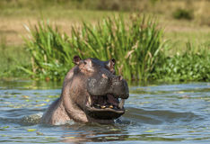 Yawning  hippopotamus in the water. Royalty Free Stock Photo