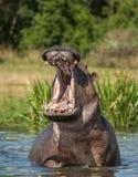 Yawning  hippopotamus in the water. The common hippopotamus (Hippopotamus amphibius) Royalty Free Stock Photo