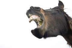 Yawning horse royalty free stock photo