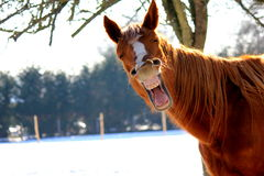 Yawning horse Stock Photos