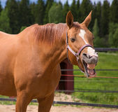 Yawning horse Royalty Free Stock Photos