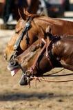 Yawning horse stock images
