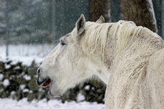 Yawning Horse. A white horse in a winter snowstorm yawning Royalty Free Stock Photos