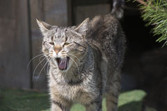 Yawning House Cat. Yawning young house cat with gray and brown stripes Stock Photography