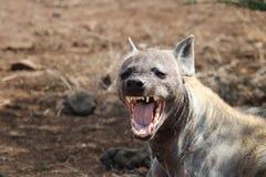Yawning Hyena. A yawning spotted Hyena female stock photo