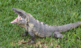 Yawning Iguana Stock Photos