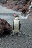 Yawning Jackass Penguin Stock Photo