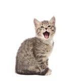 Yawning kitten Royalty Free Stock Image