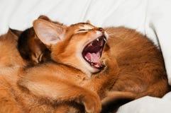 Yawning kitten Stock Photos
