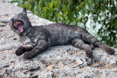 Yawning kitten Royalty Free Stock Photos