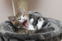 Yawning kitten cat. Yawning angry kitten in cat bed Stock Photo