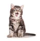 Yawning kitten. Yawning cute kitten isolated on white background cutout stock image