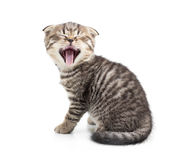 Yawning kitten isolated Royalty Free Stock Image