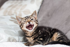 Yawning kitten. Kitten yawning looking all fierce in a couch royalty free stock images
