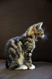 Yawning Kitten Stock Photo