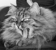 Yawning kitty cat of siberian breed, fluffy brown tabby Stock Images