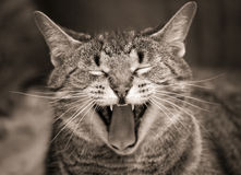 Yawning kitty in sepia Royalty Free Stock Photography