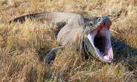 Yawning Komodo Dragon. royalty free stock photos
