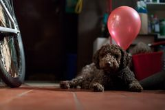 Young lagotto romagnolo dog with balloons Royalty Free Stock Photo